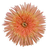 Orange gerbera flower. Beautiful orange gerbera flower isolated on white background Stock Photos