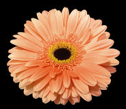 Orange gerbera flower, black isolated background with clipping path. Closeup.. Stock Photos