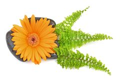 Orange gerbera flower and black stones Royalty Free Stock Images
