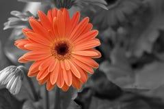 Orange gerbera flower on black and white Royalty Free Stock Images