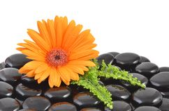 Orange gerbera flower and black zen stone Royalty Free Stock Images