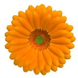 Orange Gerbera flower in bloom Royalty Free Stock Image
