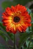 Orange gerbera flower. Blooming on may Royalty Free Stock Photo