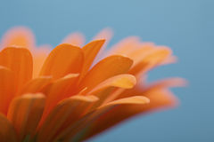 Orange gerbera flower with a blue background Royalty Free Stock Photo