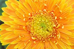 Orange gerbera flower Stock Image