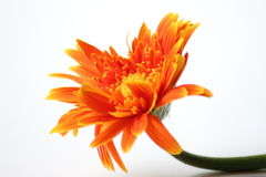 Orange gerbera flower closeup background Stock Photos