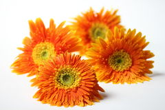 Orange gerbera flower closeup background Stock Image