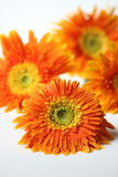 Orange gerbera flower closeup background Royalty Free Stock Photography