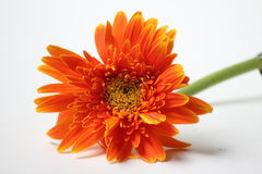 Orange gerbera flower closeup background Royalty Free Stock Images