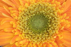 Orange Gerbera royalty free stock photography