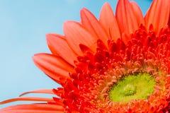 Orange Gerbera Flower CloseUp Detail Petals Stock Photography