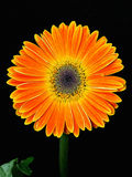 Orange Gerbera flower Royalty Free Stock Photo
