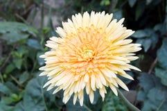 Orange Gerbera flower Stock Images