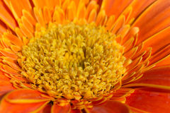 Orange gerbera flower in garden Stock Photo