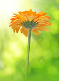 Orange gerbera flower Stock Images