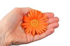 Orange gerbera flower in hand Stock Images