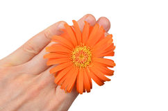 Orange gerbera flower in hand Royalty Free Stock Photography