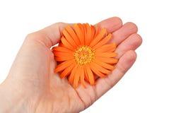 Orange gerbera flower in hand Royalty Free Stock Photos