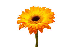 Orange gerbera flower. Isolated Royalty Free Stock Photography