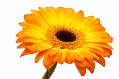 Orange gerbera flower. Stock Photos