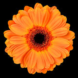 Orange Gerbera Flower Isolated on Black Stock Photos