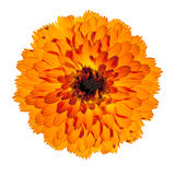 Orange Gerbera Flower Isolated on White Background. Orange Gerbera Flower in Full Blossom - Beautiful Gerbera aurantiaca Isolated on White Background. Top view Stock Photos