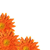 Orange gerbera flower isolated on white background Royalty Free Stock Image