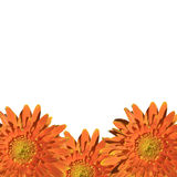 Orange gerbera flower isolated on white background Stock Photo