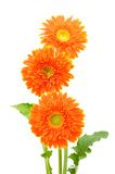 Orange gerbera flower Stock Photos