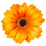 Orange gerbera flower isolated on white background. With clipping path Stock Photos