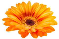 Orange gerbera flower isolated on white background. With clipping path Stock Image