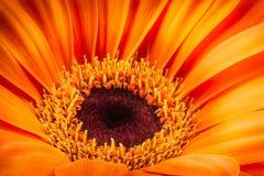 Orange gerbera flower isolated on white background. Macro photography Royalty Free Stock Image
