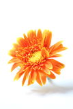 Orange gerbera flower isolated on white Royalty Free Stock Photo