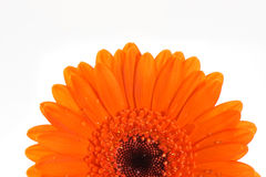 Orange gerbera flower macro Royalty Free Stock Photography