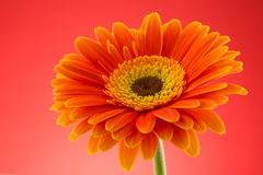 Orange gerbera flower macro studio isolated Stock Image