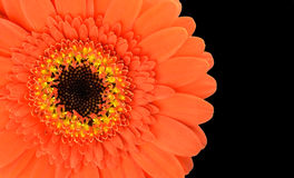 Orange Gerbera Flower Part Isolated on Black Stock Image