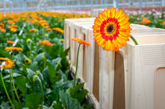 Orange Gerbera flower in a plastic harvest container from close Stock Images