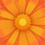 Orange gerbera flower, realistic illustration Stock Photos