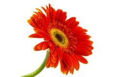 Orange gerbera flower Stock Image
