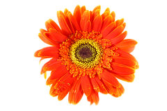 Orange gerbera flower royalty free stock image