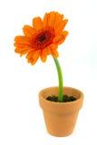 Orange gerbera flower in a terracotta pot Stock Images