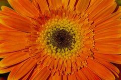 Orange gerbera flower texture close up. Royalty Free Stock Photos