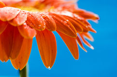 Orange gerbera flower with water drops. On blue background Stock Photos