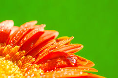 Orange gerbera flower with water drops. On green background, top view Stock Photography