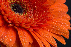 Orange gerbera flower with water drops on petals Royalty Free Stock Images