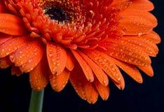 Orange gerbera flower with water drops on petals, macro view Stock Photos