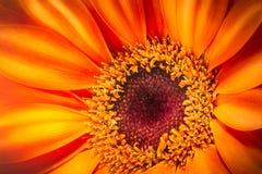 Orange gerbera flower  on white background. Macro photography Royalty Free Stock Photo