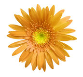 flower Orange gerbera flower on white isolated background with clipping path.   Closeup.  no shadows.  For design. Royalty Free Stock Image