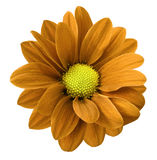 Orange gerbera flower.  White isolated background with clipping path.   Closeup.  no shadows.  For design. Royalty Free Stock Photos