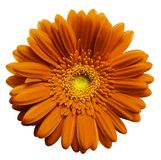 Orange   gerbera flower, white isolated background with clipping path.   Closeup.  no shadows.  For design. Stock Photography